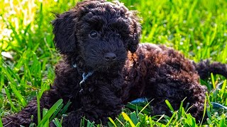 Schnoodle   Top 15 Fact That You Need To Know (Compilation Video)