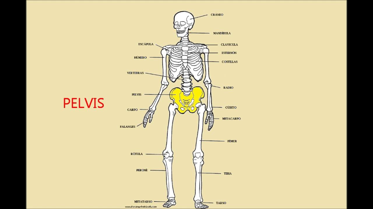 Los huesos del cuerpo humano - YouTube