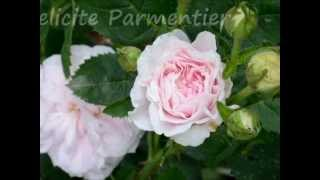 Old Garden and Moss Roses