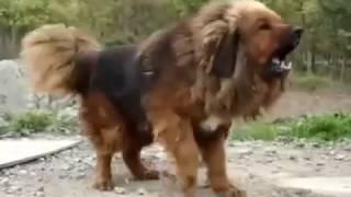 dog tibetan mastiff angry 3