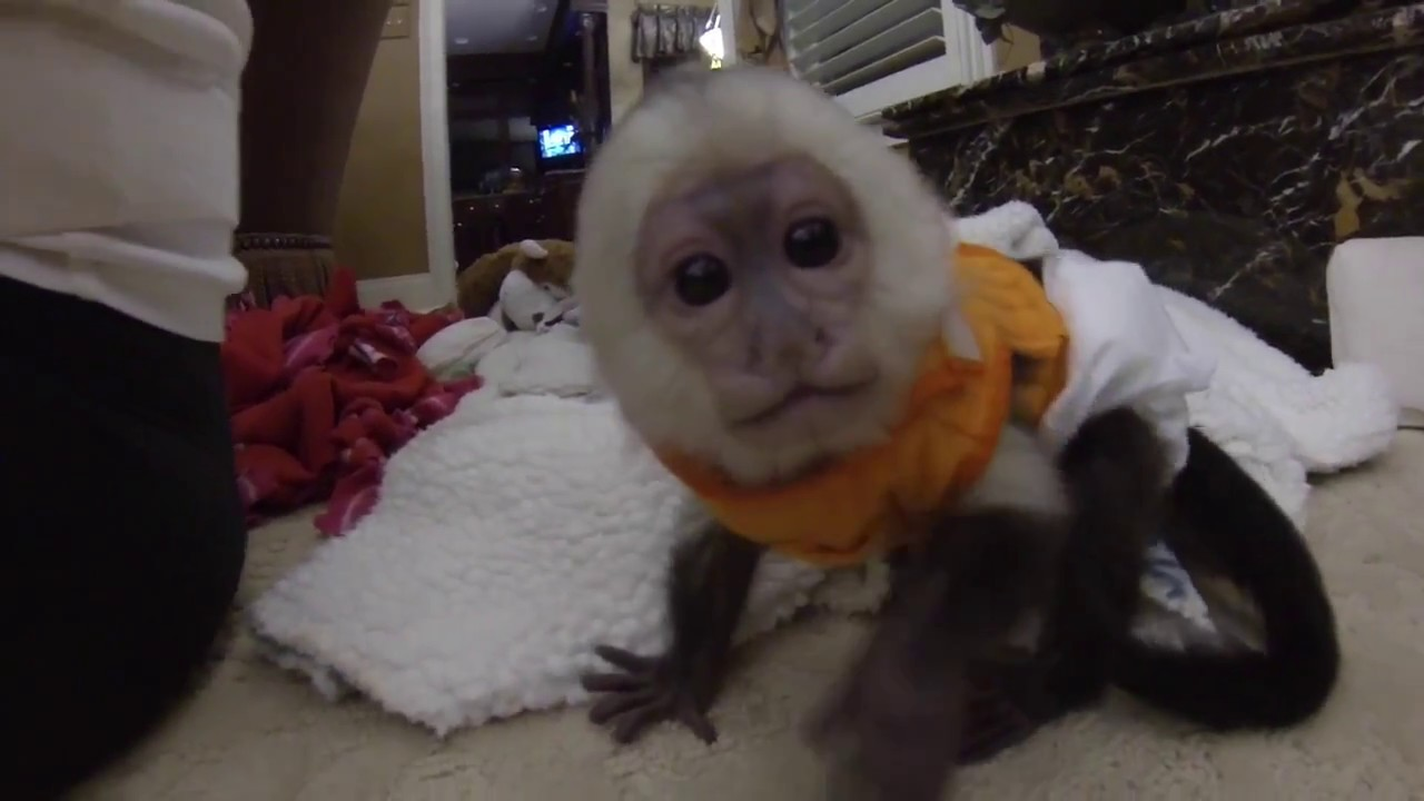 Baby Capuchin Monkey Playing!! - 95.1KB