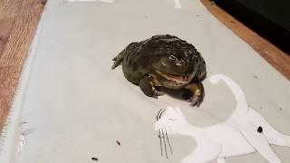 Чем толще лягушка, тем она милее! Уплотняем водоносов гусеницами