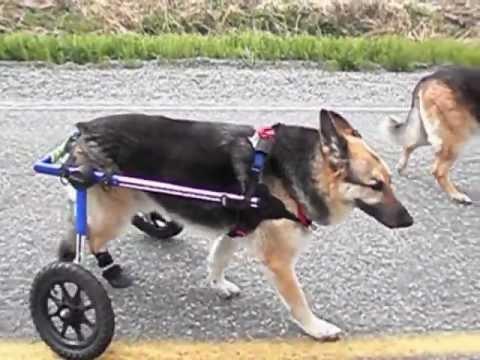 wheelchair dog legless floor chair australia when surgery is not an option youtube