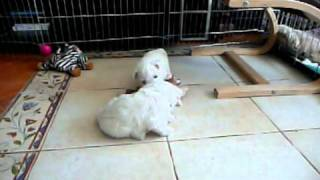 Westie Puppies 5 Weeks Old - Of Westyle Kennel