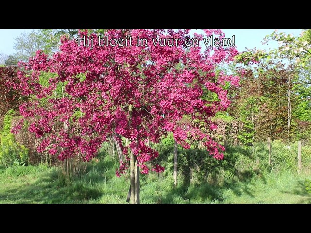 1 minuut natuur: malus red sentinel - flowering crab - pommier ornemental - Zierapfel