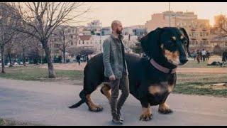 اضخم 10 كلاب حراسه في العالم