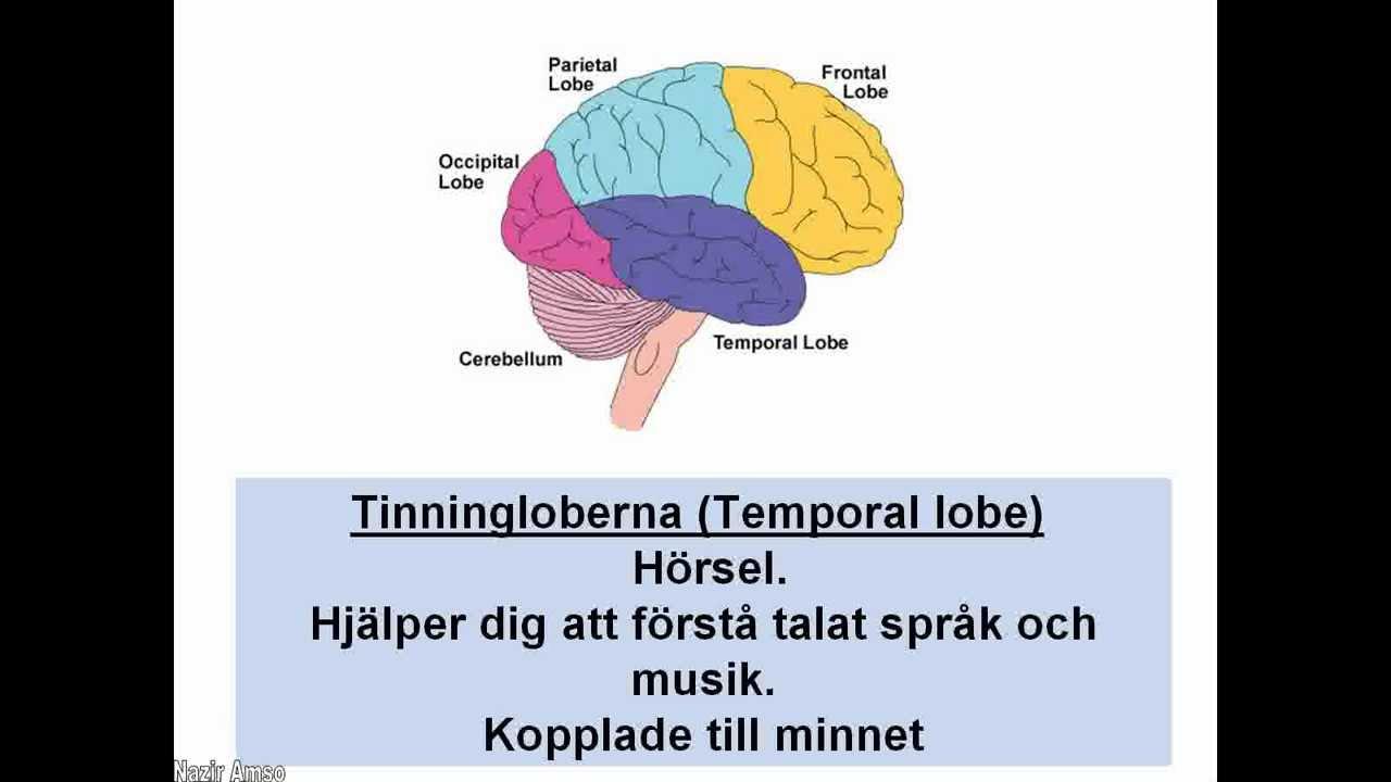 hjärnans delar och dess funktioner