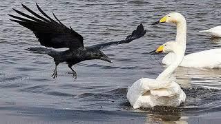Смешной анекдот про перелётную ворону