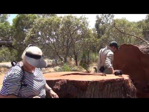 Ancient Jarrah Tree & Bees Murdered Jan 2016 Video John J Zylstra
