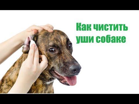 Как Чистить Уши Собаке & Уход За Ушами Собаки В Домашних Условиях. Ветклиника Био Вет