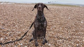 Nellie - German Shorthaired Pointer - 3 Week Residential Dog Training At Adolescent Dogs