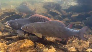 Рыбалка ловля красивой и мощной рыбы хариус в девственной тайге.