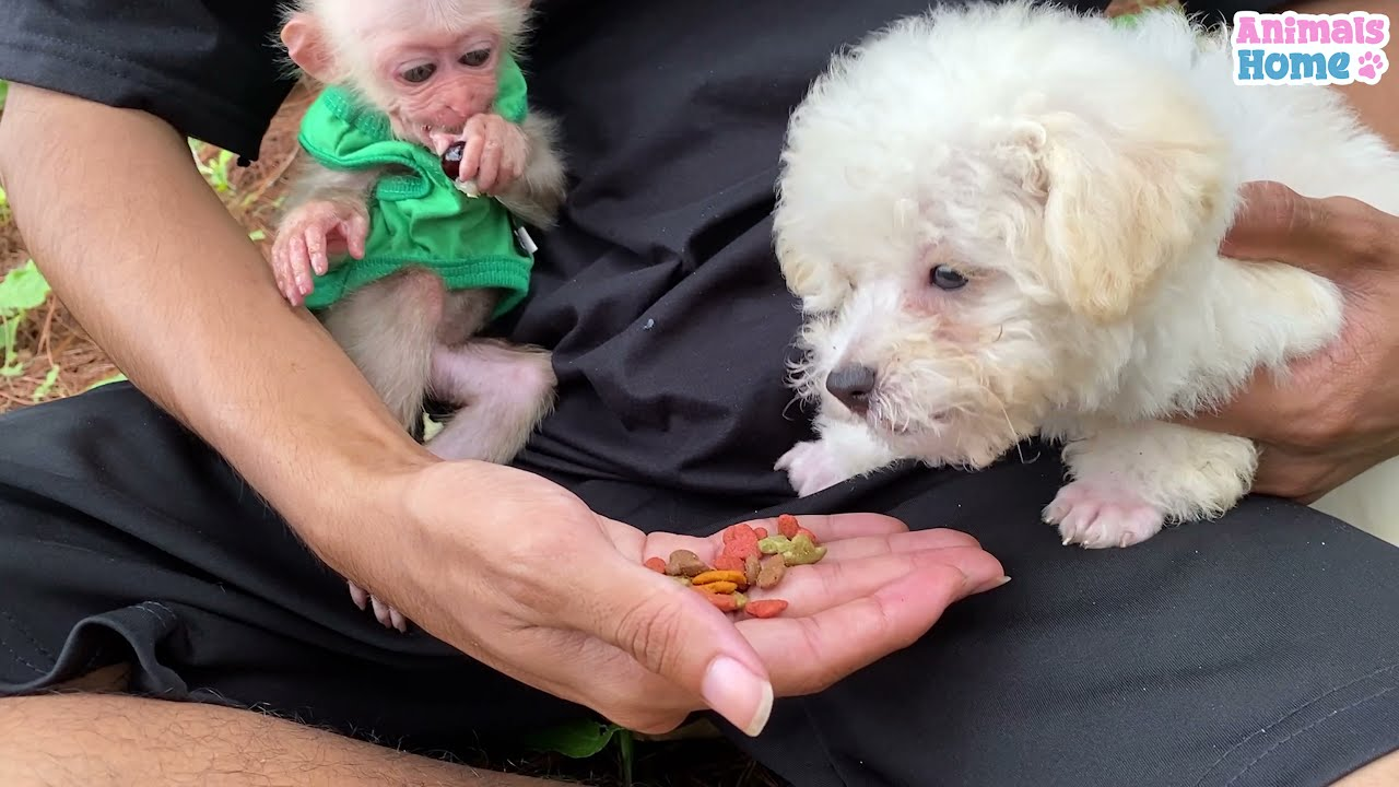 Take baby monkey and poodle into the forest to play