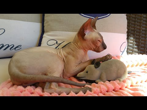 Lovely Sphynx Cat / DonSphynx