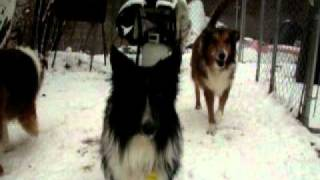 Almost All Dogs At Sheltie Rescue Of Utah Jan 2011.avi