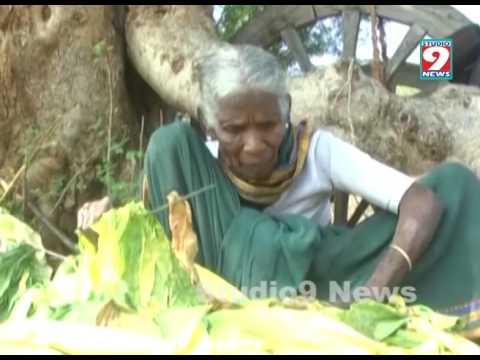 tobacco crops at warangal -getting  profits with  natural sources