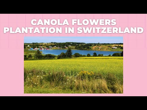 Canola Flowers Plantation In Switzerland