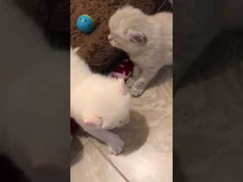American Curl Kittens 2018 Peter, Bugsy, Thumper, Trix and Hoppy.