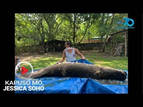 Kapuso Mo, Jessica Soho: Monster fish in the city?