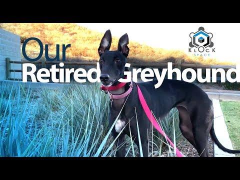 Chanele: Our Retired Greyhound