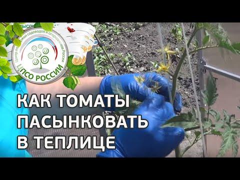 Как правильно пасынковать помидоры в теплице из поликарбоната видео