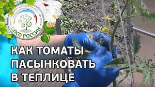 Как формировать томаты в теплице. Как пасынковать томаты.(В этом ролике вы узнаете, как правильно формировать детерминантные томаты, а как индетерминантные. Особенн..., 2015-06-11T10:56:09.000Z)