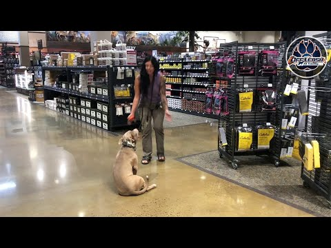 Ella, Reactive Pitbull | Reactive Dog Training | Northern Virginia Dog Trainers