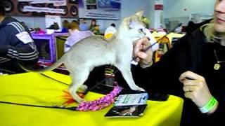Котик сингапура из Севастополя