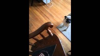 Stubborn Pug Refuses His Harness