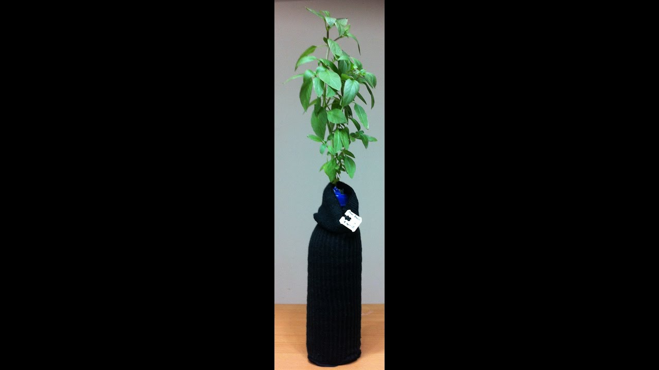 Singapore limsan 39 s diy hydroponic growing bottle for Diy mineral water bottle