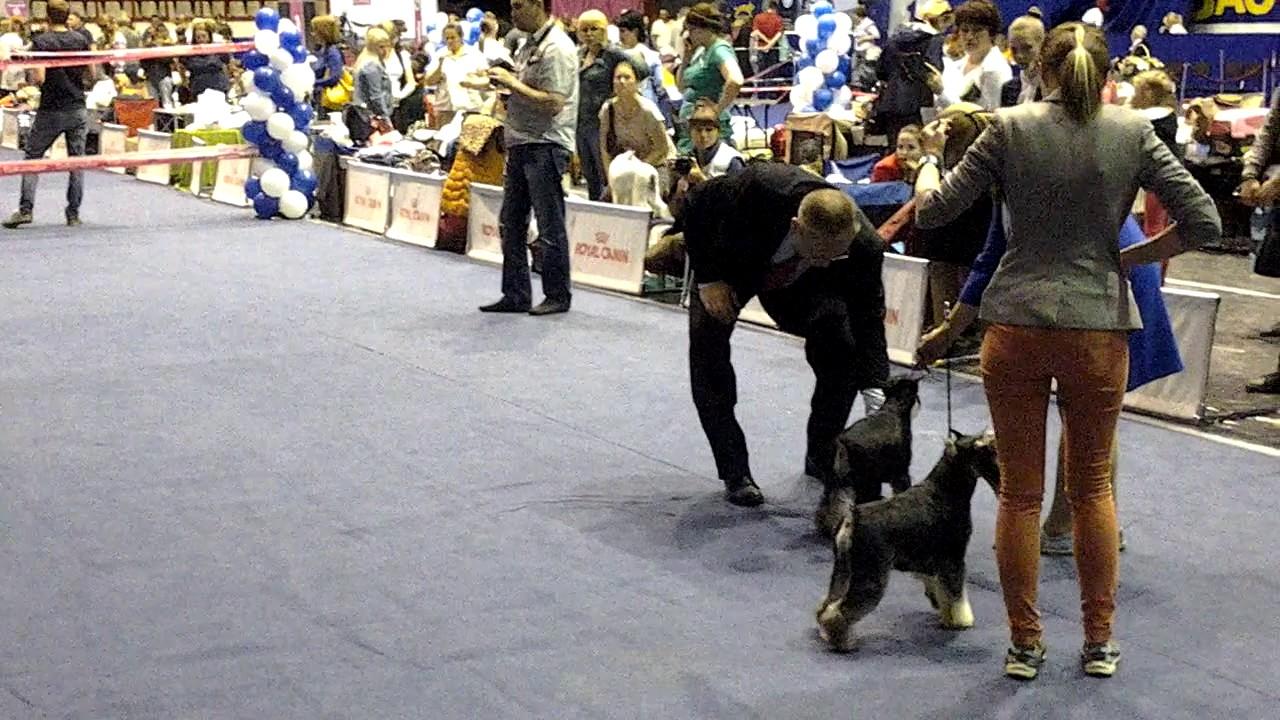 Монопородная выставка собак породы немецкая овчарка г.Омск 6 .