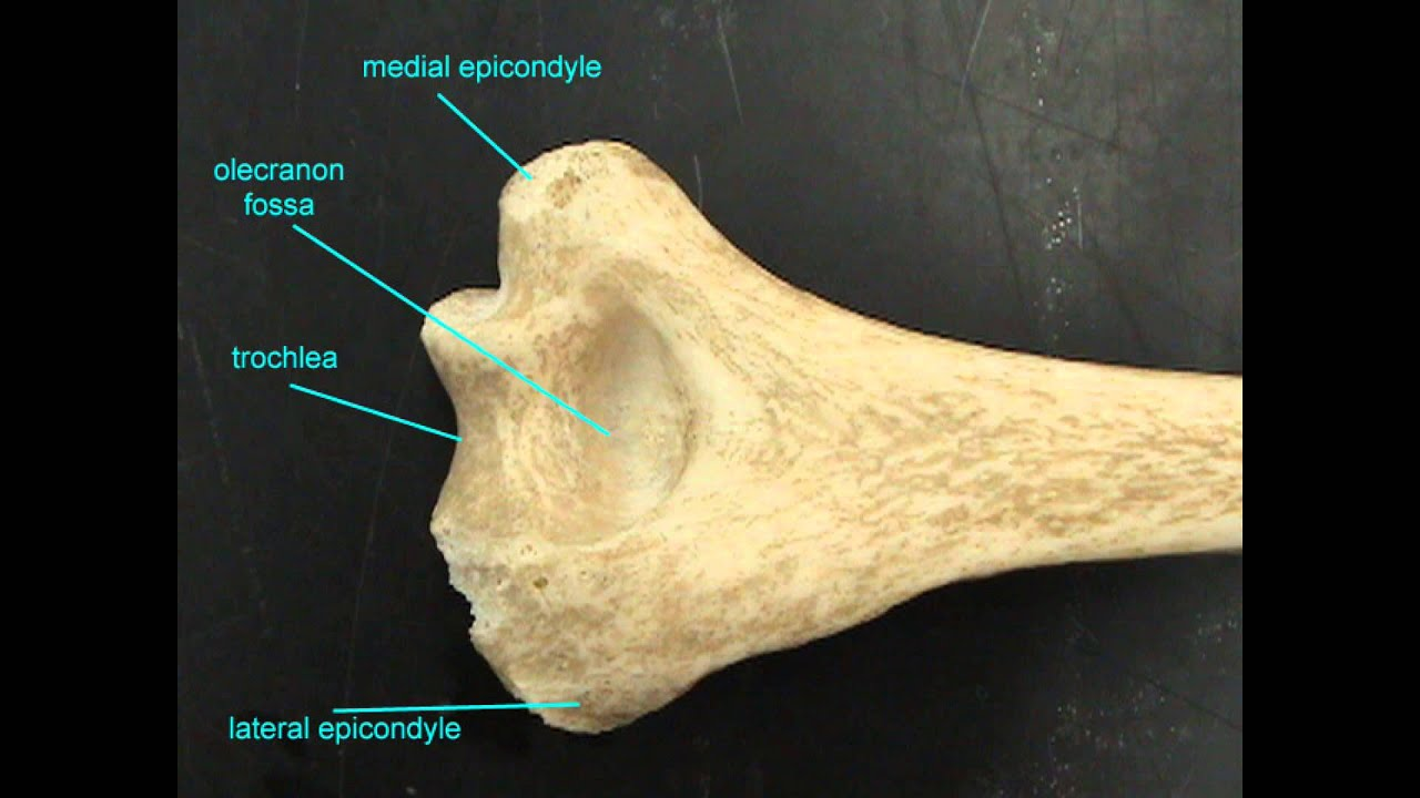 HUMERUS ANATOMY - YouTube
