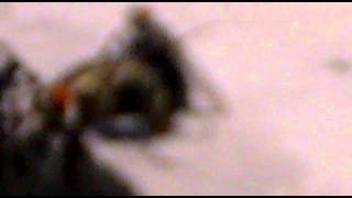 Zevk İçin sevişen sinekler by_manyaksbs