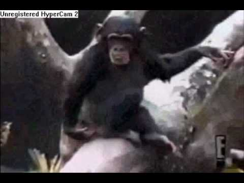 Monkey Smells Finger and Falls Out of Tree