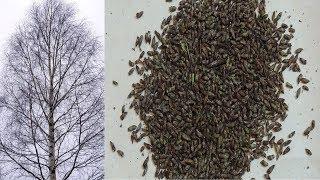 как за 5 минут собрать  почки берёзы  зимой . Winter harvest of birch buds