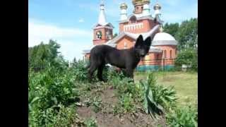 (Чара) восточно-европейская овчарка черная  3 месяца