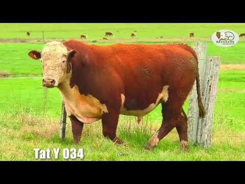 LOTE 15   TAT Y034 TOURO HEREFORD RECULUTA AGROPASTORIL