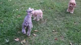 Killa & Vanilla Meet Ashton & Joyce At Pampawz Dog Run