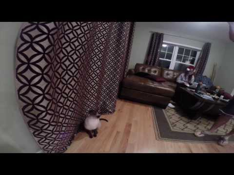 Siamese Cat Jumps 6 feet