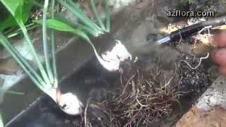 видео Цветок эхмея - пересадка, уход и размножение отростками и семенами в домашних условиях