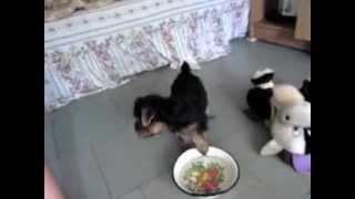 купить щенка йоркширского терьера Днепропетровск.
