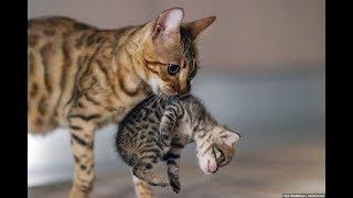 Кот и кошка ворует котят у чужой кошки. Cat steals kittens