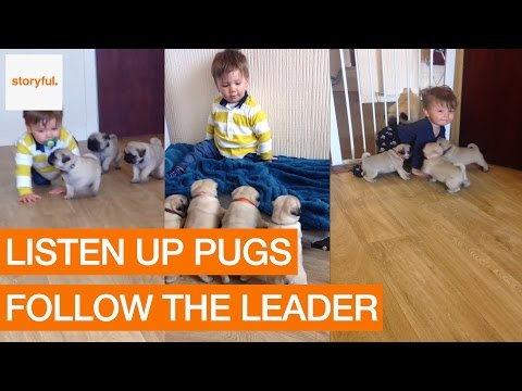Pugs Love to Follow Their Tiny Owner (Storyful, Dogs)