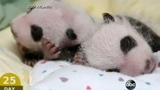 Baby Panda Twins: Adorable First Moments | CUTE ANIMALS (Episode 8)