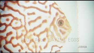 Red Eagle Discus, laying eggs