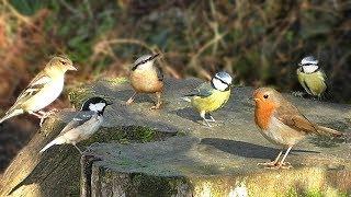 Bird Sounds : Birds Chirping and Singing Extravaganza