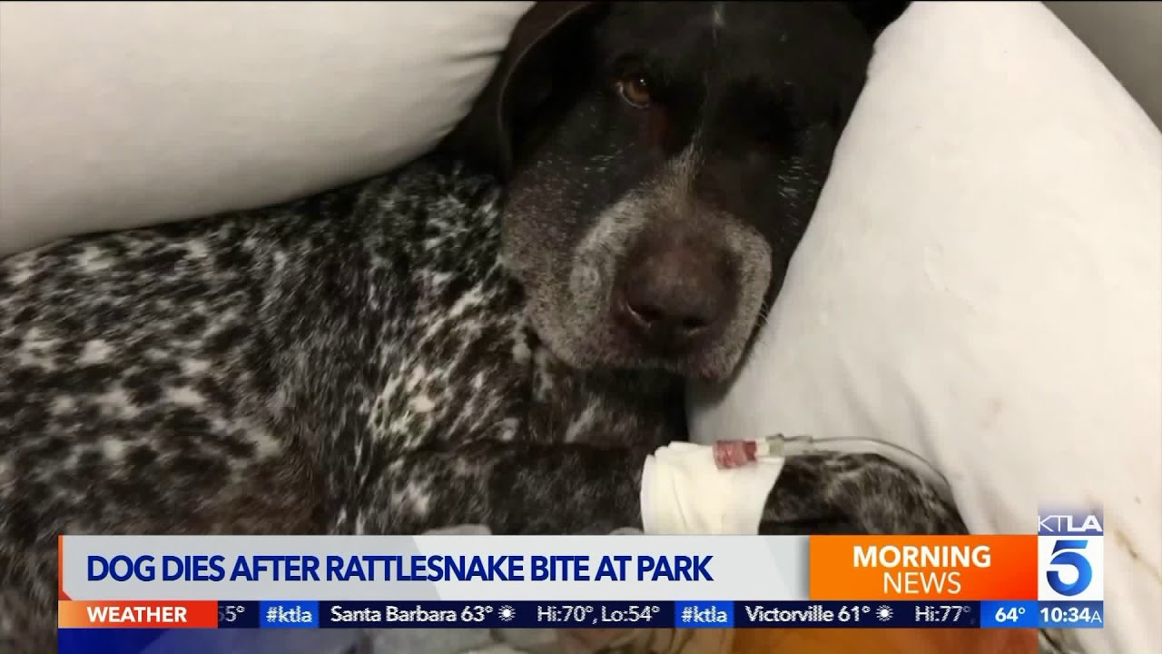 Dog Recovering From Snake Bite in Laurel Canyon