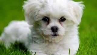 Порода собак. Гаванский бишон. Миниатюрная собачка