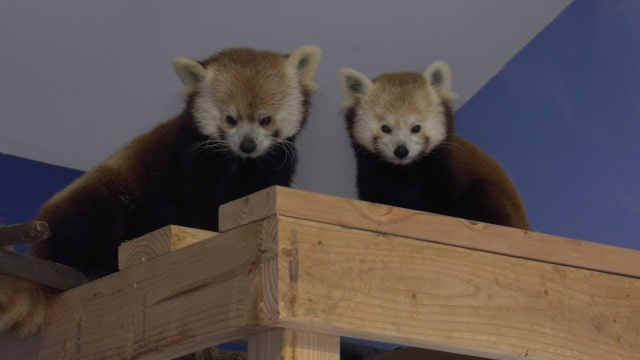 Red Pandas of Bridgeport!
