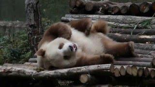 شاهد.. دب الباندا البني الوحيد في العالم